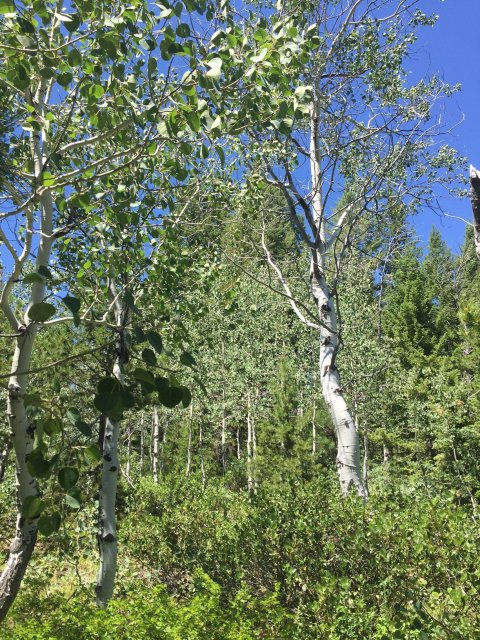 Aspen Populus tremuloides