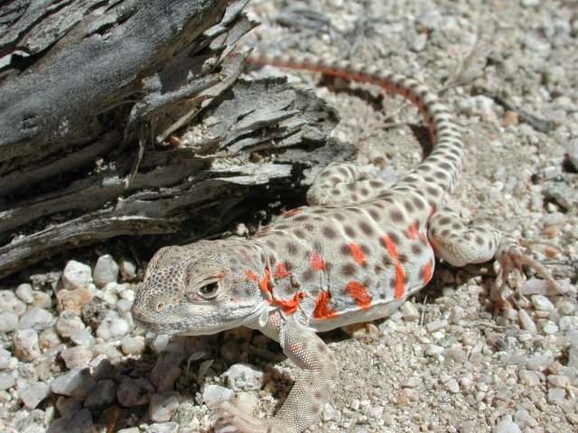 Long-nosed leopard lizard (Gambelia wislizenii) - Photo Public Domain by William Bosworth, Idaho Dept. Fish and Game