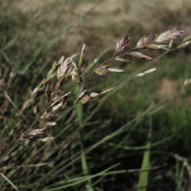 http://hasbrouck.asu.edu/imglib/seinet/Poaceae/photos/Poa-interior-F-web-6-14-1.jpg