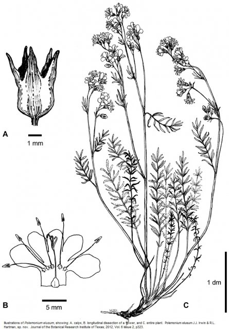 Illustrations of Polemonium elusum, showing: A. calyx, B. longitudinal dissection of a flower, and C. entire plant.