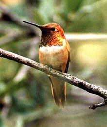 http://en.wikipedia.org/wiki/Rufous_hummingbird