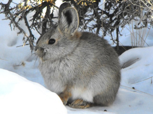 Pygmy Rabbit (Brachylagus idahoensis) - Photo Public Domain by Beth Waterbury, Idaho Fish and Game