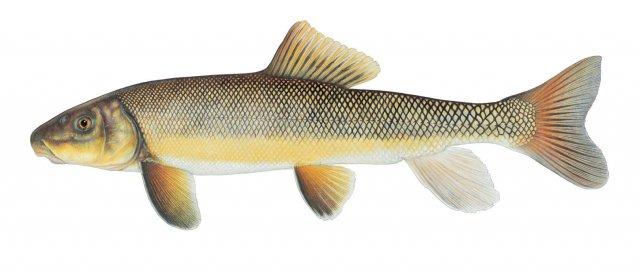 Catostomus macrocheilus Photo