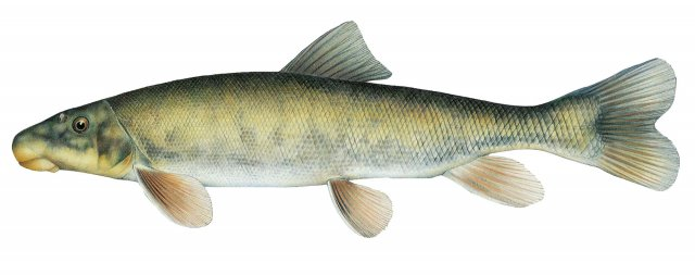 K:\Fishery\Tomelleri Images 13-15\wCatostomus platyrhynchus.jpg