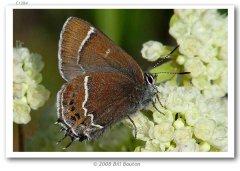 http://butterfliesofamerica.com/callophrys_s_spinetorum_live1.htm