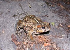 Western Toad (Bufo boreas) - Photo Public Domain by Ryan Killackey, Idaho Fish and Game