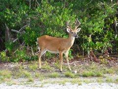 http://commons.wikimedia.org/wiki/File:Key_deer_male.jpg