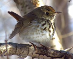 http://commons.wikimedia.org/wiki/File:Hermit_Thrush_in_winter.jpg