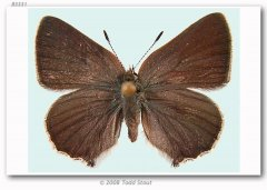 http://butterfliesofamerica.com/images/Theclinae/eumaeini/callophrys_s_pseudodumetorum/Callophrys_sheridani_nr_dumetorum_F_EMGD_01-II-07_Taylor_Creek_Rd_Josephine_Co_OR.jpg