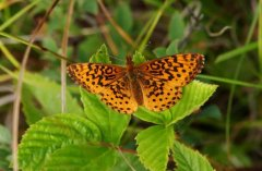 http://animaldiversity.ummz.umich.edu/site/resources/phil_myers/lepidoptera/Nymphalidae_A-E/Boloria_bellona8484.jpg/medium.jpg