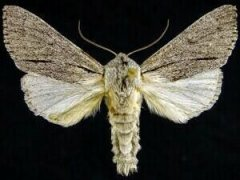 http://mothphotographersgroup.msstate.edu/species.php?hodges=9205.1