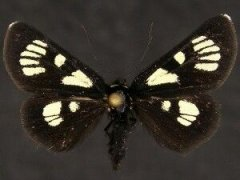 http://mothphotographersgroup.msstate.edu/species.php?hodges=9319