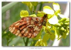 http://butterfliesofamerica.com/images/Nymphalidae/Argynnini/Boloria_kriemhild/Boloria_kriemhild_Big_Springs_Hollow_Utah_Co_UT_USA_18-VI-05_2.jpg