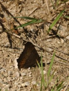 http://animaldiversity.ummz.umich.edu/site/resources/phil_myers/lepidoptera/Nymphalidae_F-N/nymphalis_milberti6056.jpg/medium.jpg