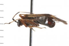 http://www.boldsystems.org/views/taxbrowser.php?taxon=Adelphocoris+rapidus
