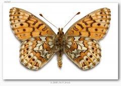 http://butterfliesofamerica.com/images/Nymphalidae/Argynnini/Boloria_a_astarte/Boloria_a_astarte_Slate_Paek_Okanogan_Co_WA_USA_July_1972_6.jpg