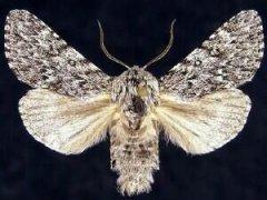 http://mothphotographersgroup.msstate.edu/species.php?hodges=9275