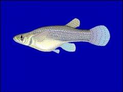 http://www.fishbase.us/images/species/Gaaff_u0.gif
