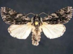 http://mothphotographersgroup.msstate.edu/species.php?hodges=9268