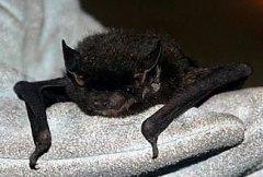 http://animaldiversity.ummz.umich.edu/site/resources/joy_okeefe/silver-haired_bat.jpg/medium.jpg
