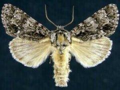 http://mothphotographersgroup.msstate.edu/species.php?hodges=9261