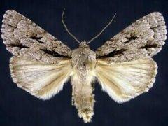 http://mothphotographersgroup.msstate.edu/species.php?hodges=9229