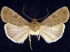 http://mothphotographersgroup.msstate.edu/species.php?hodges=10923