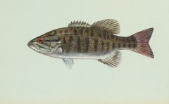 http://animaldiversity.ummz.umich.edu/site/resources/usfws/smallmouthbass4.jpg/medium.jpg