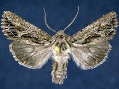 http://mothphotographersgroup.msstate.edu/species.php?hodges=10233.1