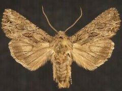 http://mothphotographersgroup.msstate.edu/species.php?hodges=10233