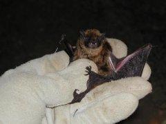 http://animaldiversity.ummz.umich.edu/site/resources/tanya_dewey/Myvo.jpg/medium.jpg