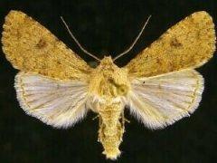 http://mothphotographersgroup.msstate.edu/species.php?hodges=10259