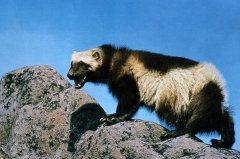 http://commons.wikimedia.org/wiki/File:Wolverine_on_rock.jpg