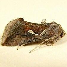 http://mothphotographersgroup.msstate.edu/species.php?hodges=8924