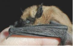 http://commons.wikimedia.org/wiki/File:Myotis_ciliolabrum.jpg