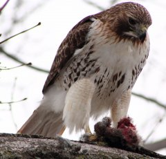 http://commons.wikimedia.org/wiki/File:Buteo_jamaicensis_-near_Philadelphia,_Pennsylvania,_USA_-eating_rabbit-8_(1).jpg
