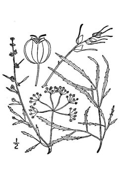 http://plants.usda.gov/java/largeImage?imageID=cibu_001_avd.tif