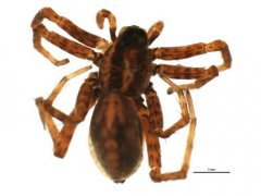 http://www.boldsystems.org/views/taxbrowser.php?taxon=Pardosa+lapponica