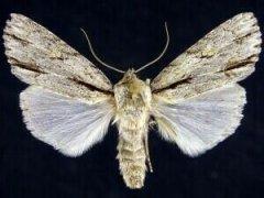 http://mothphotographersgroup.msstate.edu/species.php?hodges=9231