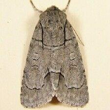 http://mothphotographersgroup.msstate.edu/species.php?hodges=9209