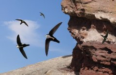 http://commons.wikimedia.org/wiki/File:White_Throated_Swift_From_The_Crossley_ID_Guide_Eastern_Birds.jpg