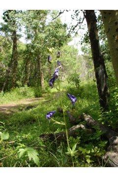 http://plants.usda.gov/java/largeImage?imageID=accoc3_006_avp.jpg
