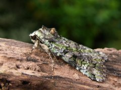 http://www.biopix.com/green-arches-anaplectoides-prasina_photo-12651.aspx