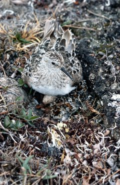 http://commons.wikimedia.org/wiki/File:Baird's_Sandpiper_on_Nest.jpg