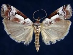 http://mothphotographersgroup.msstate.edu/species.php?hodges=5759