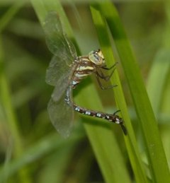 http://animaldiversity.ummz.umich.edu/site/resources/phil_myers/odonata/Aeshnidae/aeshna0979.jpg/medium.jpg