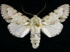 http://mothphotographersgroup.msstate.edu/species.php?hodges=9205