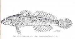 http://content.lib.washington.edu/cgi-bin/getimage.exe?CISOROOT=/fishimages&CISOPTR=34189&DMWIDTH=10000&DMHEIGHT=10000