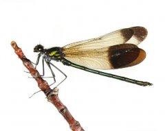 http://animaldiversity.ummz.umich.edu/site/resources/phil_myers/odonata/Calopterygidae/Calopteryx_aequabilis4769.jpg/medium.jpg