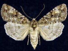 http://mothphotographersgroup.msstate.edu/species.php?hodges=11001